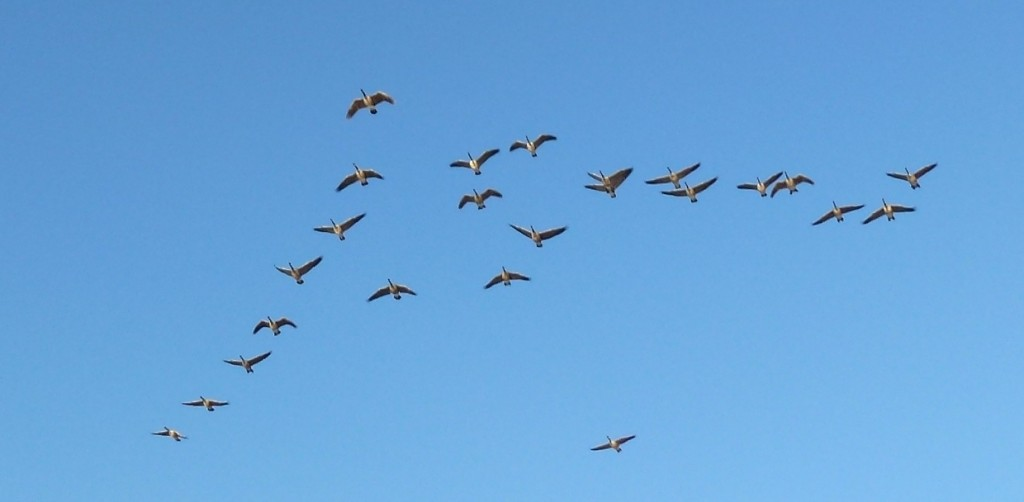 Bonners Ferry geese